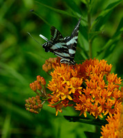 Party on the Butterfly Weed